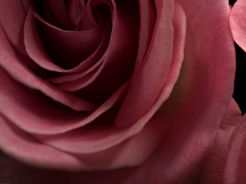 Burgundy-Rose-desktop-hd-wallpaper