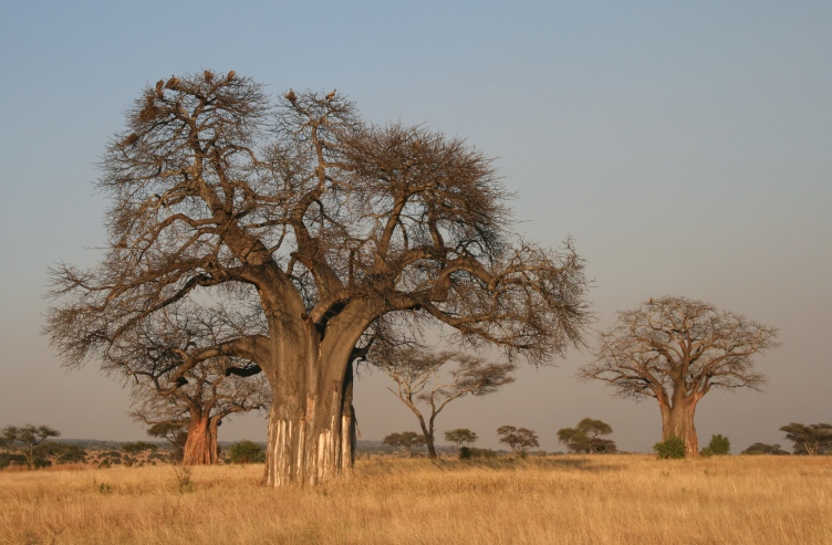 Adansonia_digitata_Baobab-2
