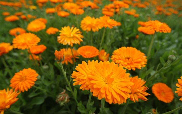 calendula-marigolds