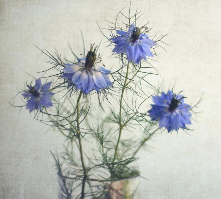 blue-nigella-sativa-flowers-by-julie-mcinnes